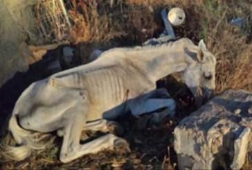 [Sucedió en 2.015] La Policía local de Guadix denuncia el maltrato que está sufriendo este caballo